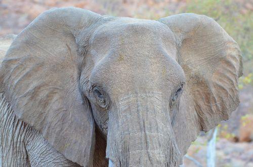 elephant namibia nature