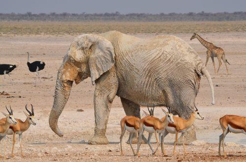 elephant africa etosha
