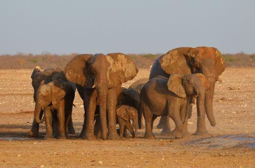 elephant etosha africa