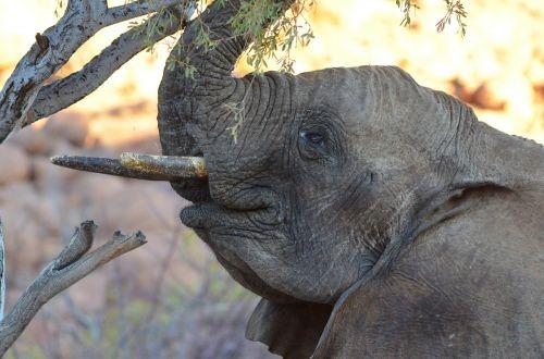 elephant young elephant baby elephant