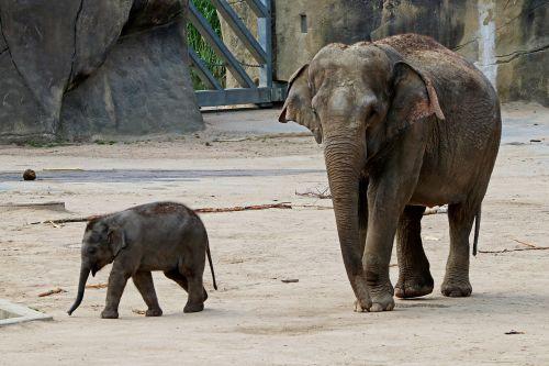 elephant baby elephant proboscis