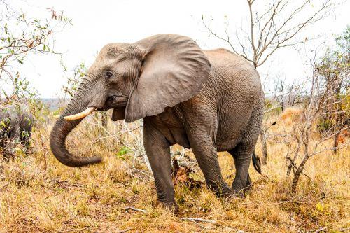 elephant animal mammoth