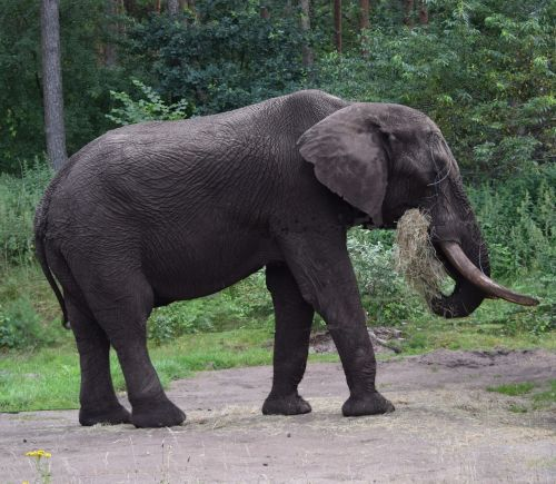 elephant,large,proboscis,africa,pachyderm,animal,nature,enormous,tusk