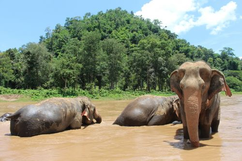 elephant elephants proboscis