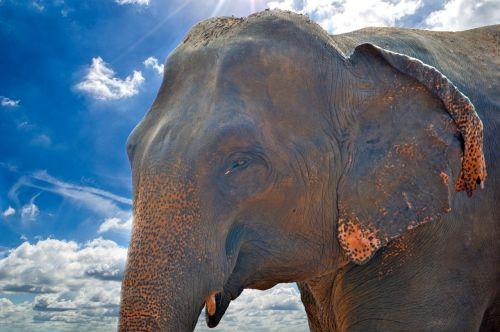elephant asian elephant giant