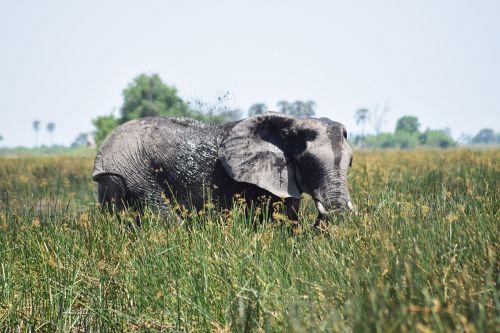 elephant muddy mud