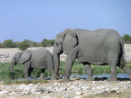 elephant animal africa