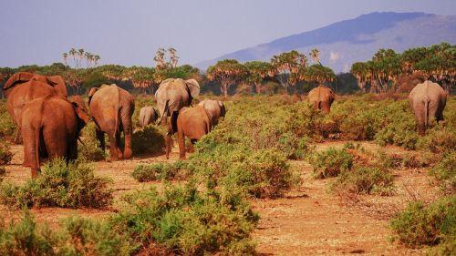 elephant flock savannah