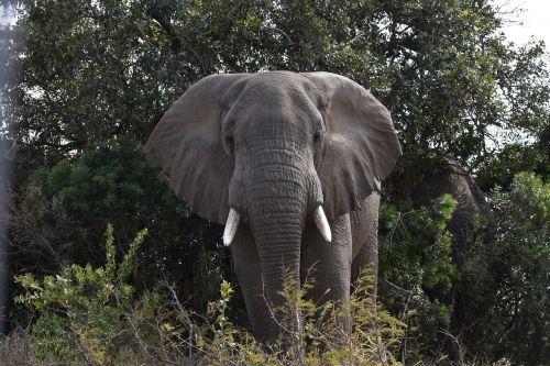 elephant south africa wild animals
