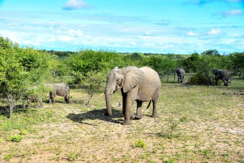 elephant african bush elephant pachyderm