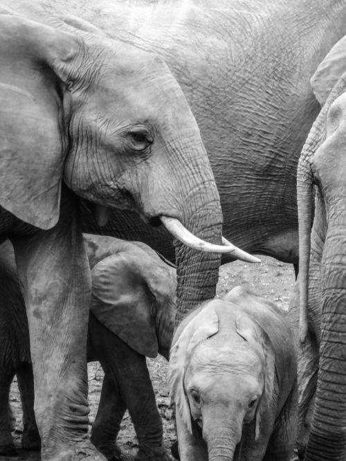 elephant young baby elephant