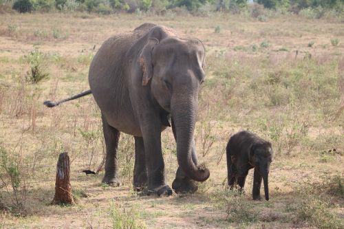elephant baby elephant sri lanka