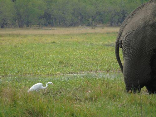 elephant egret bum