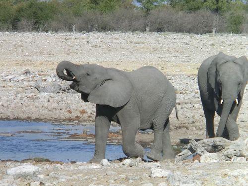 elephant africa drink