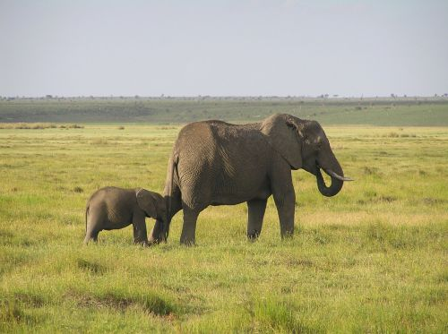 elephant african bush elephant africa