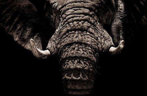 elephant tusks ivory