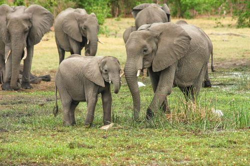 elephant africa african bush elephant