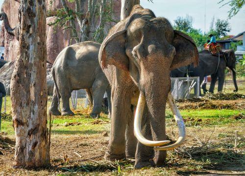 elephant old tusks