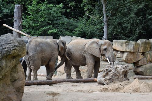 elephant elephant group african bush elephant
