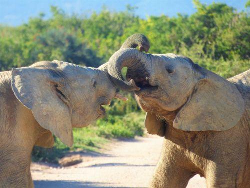 elephant animal world mammal