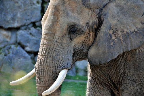 elephant pachyderm tusks