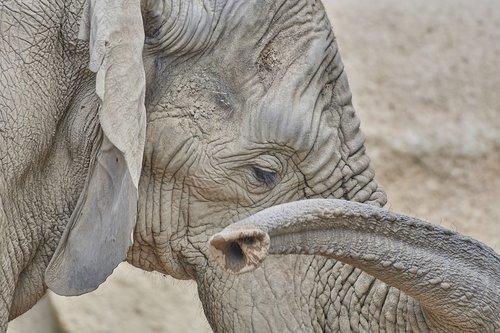 elephant  proboscis  animal world