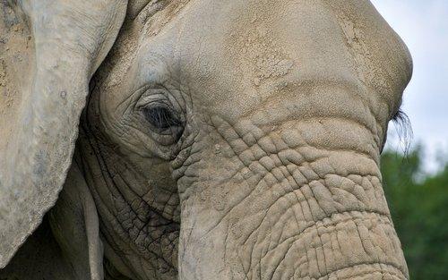elephant  close up  eyelashes