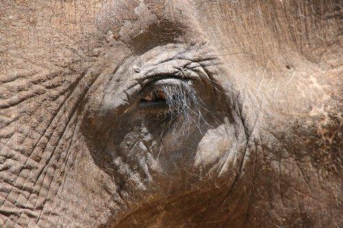 elephant  eye  animal