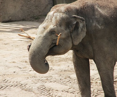 elephant  happy  african bush elephant