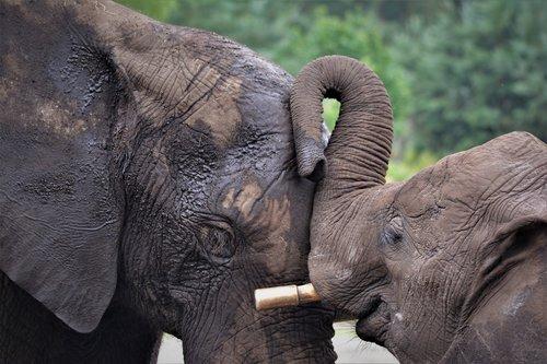 elephant  elephant heads  elephant love