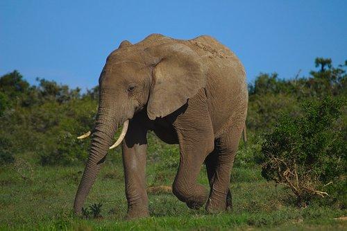 elephant  walking  animal