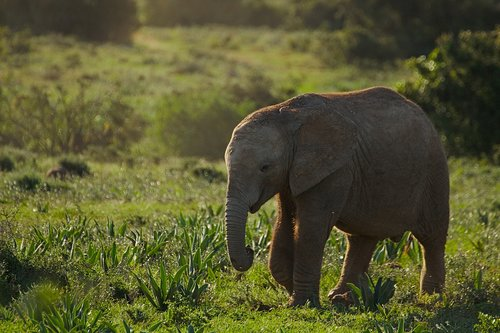 elephant  young  animal