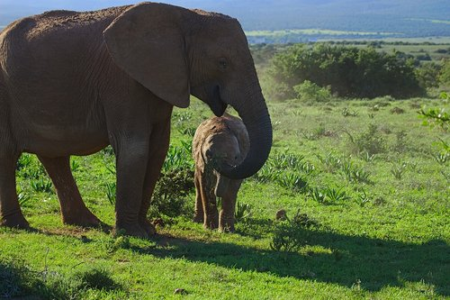elephant  young  old