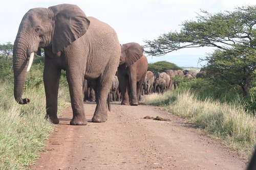 elephant  elephants  herd
