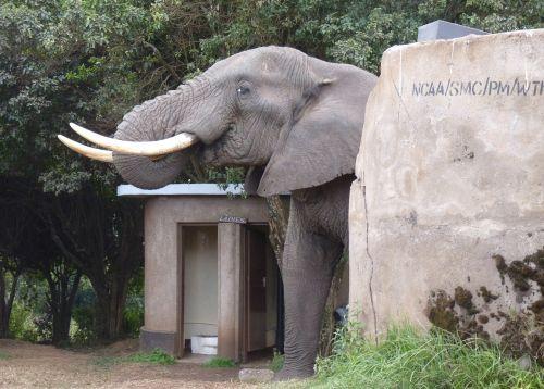 elephant africa toilet