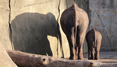 elephant  proboscidea  pachyderm