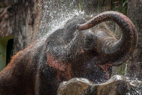 elephant  water  bathing
