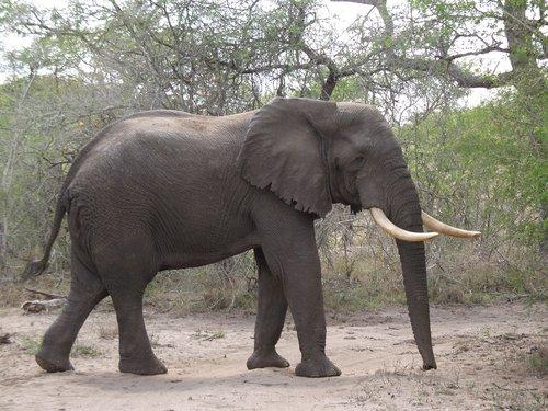 elephant  bull  elephant boy