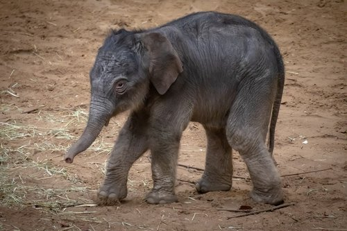 elephant  young animal  baby