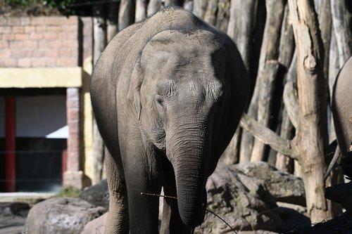 elephant  africa  tusks