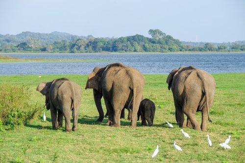 elephant  asian elephant  sri lankan elephant