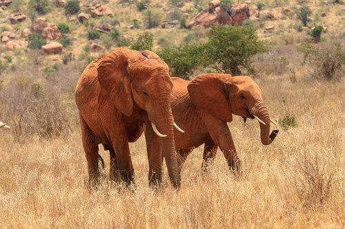 elephant  herd of elephants  africa