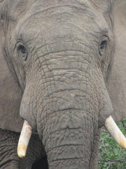 elephant  look at  penetrating