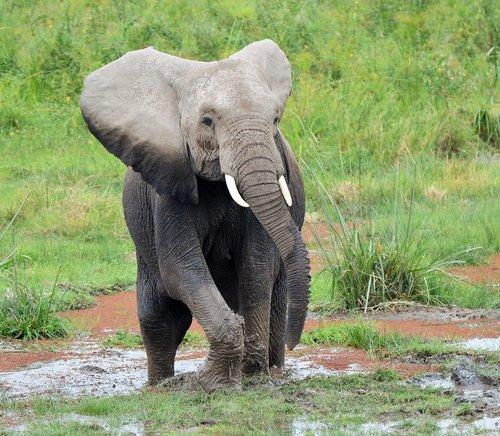 elephant  wildlife  africa