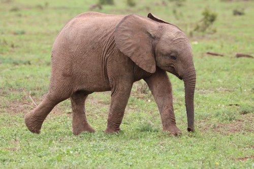 elephant  baby elephant  baby animal