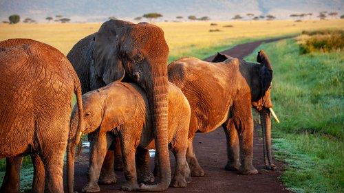 elephant  flock  mother
