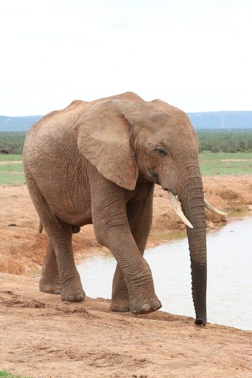 elephant  pachyderm  ivory
