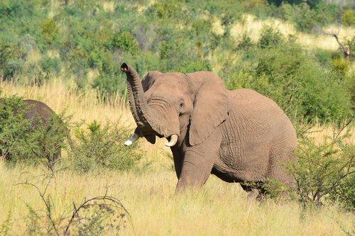 elephant  tusks  wildlife