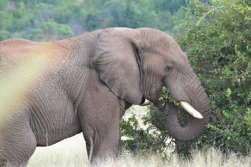 elephant  eating  nature