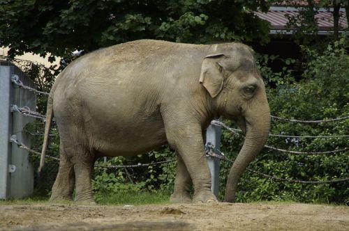 elephant indian elephant animal